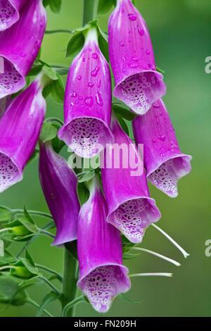 Foxgloves oder digitalis purpurea violett nach unten gerichtete glockenförmige Reihen. Wassertropfen ist frisch aussehende Pflanze. Hochformat mit hellgrünem Hintergrund Stockfoto