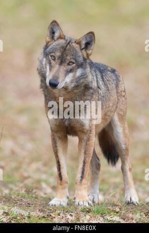 Italienischer Wolf (Canis Lupus Italicus), Gefangene Tier stehen auf dem Boden, Civitella Alfedena, Abruzzen, Italien - Stockfoto