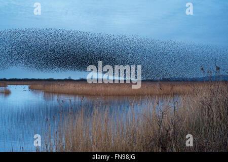 Ein Murmuration der Stare, eine spektakuläre Kunstflug Darstellung einer großen Anzahl der Vögel im Flug in der - Stockfoto