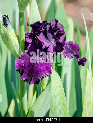 lila b rtigen iris close up im regen stockfoto bild 280841528 alamy. Black Bedroom Furniture Sets. Home Design Ideas