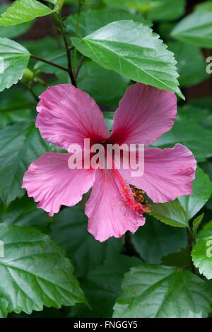Rosa Hibiskus Blume