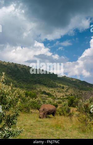 Weiße Nashörner in Afrika Masai Mara - Stockfoto