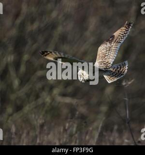Wilde Short eared Eule hält auf der Flucht und sucht seine Beute (Asio Flammeus) - Stockfoto
