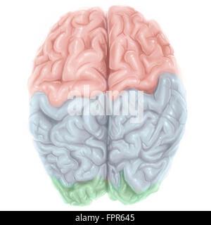 Überlegene Ansicht des menschlichen Gehirns mit farbigen Lappen. - Stockfoto
