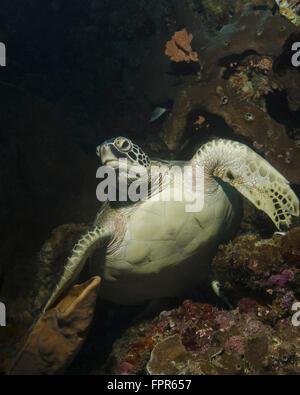 Grüne Schildkröte, Bunaken Marine Park, Indonesien. - Stockfoto