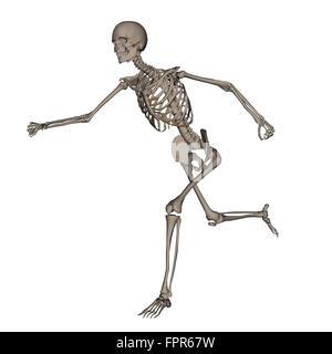 Vorderansicht des menschlichen Skeletts laufen, isoliert auf weißem Hintergrund. - Stockfoto