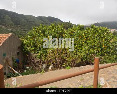 Orangen auf ihrem Baum, grüne und gelbe Farbenpracht, in einem Garten in Las Portelas, Teneriffa-Kanarische Inseln-Spanien