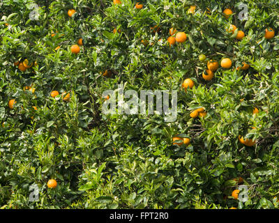 Orangen auf ihrem Baum, grüne und gelbe Farbenpracht, in einem Garten in Teneriffa-Kanarische Inseln-Spanien