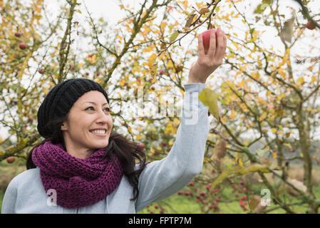 Frau Kommissionierung einen Apfel von einem Baum in einem Apple Orchard, Bayern, Deutschland - Stockfoto