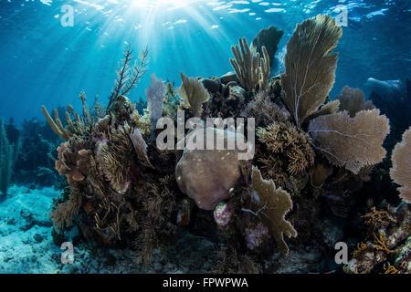 Eine bunte Reihe von Gorgonien, Korallen Riff-Gebäude und andere Wirbellose wachsen an einem vielfältigen Riff in - Stockfoto