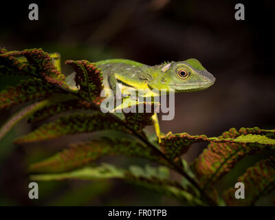 Grün Crested Eidechse (Bronchocela Cristatella) Gunung Mulu, Borneo
