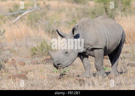 Breitmaulnashorn oder Square-lippige Rhinoceros (Ceratotherium Simum), jung, Weiden, Krüger Nationalpark, Südafrika, - Stockfoto
