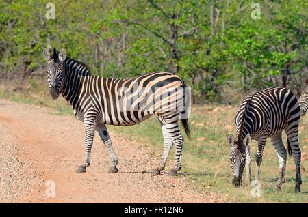 Burchell Zebras oder Ebenen Zebras (Equus Quagga), Stand am Rande einer Schotterstraße, Krüger Nationalpark, Südafrika - Stockfoto
