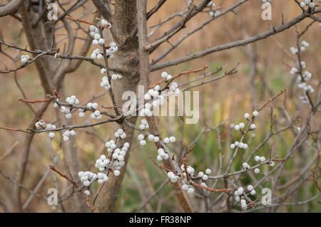 Nördlichen Bayberry (Myrica Pensylvanica) Baum Strauch im Winter, mit Silber-weißen Beeren und kein Laub. - Stockfoto