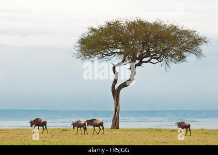 Herde von Gnus in der Masai Mara National Park in Kenia - Stockfoto
