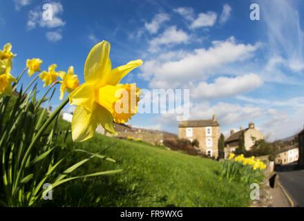 Gelbe Narzissen blühen mit Häusern in der Ferne; Yorkshire Dales, England - Stockfoto