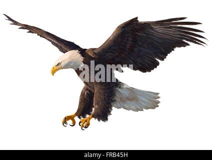 Falcon flying Hand zeichnen auf weißem Hintergrund - Stockfoto