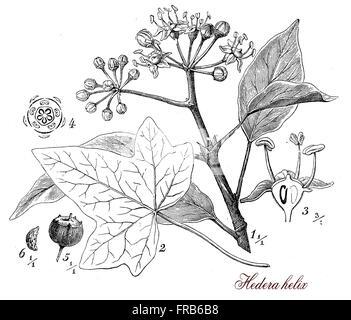 Vintage Print gemeinsame Efeu immergrünen Kletter Pflanze botanischen Morphologie zu beschreiben: Es klettert mittels Antenne Würzelchen hat Laubblätter, Blume wachsen in Dolden und die violett-schwarze Früchte sind giftig. Stockfoto