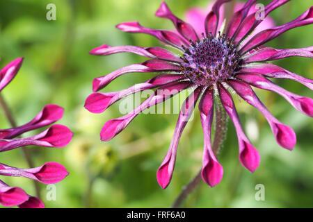 Spinne Daisy Blumen - Stockfoto