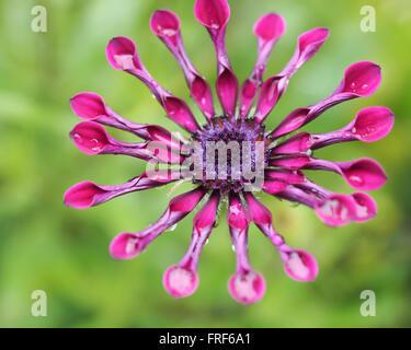 Spinne Daisy Blume lila Closeup - Stockfoto