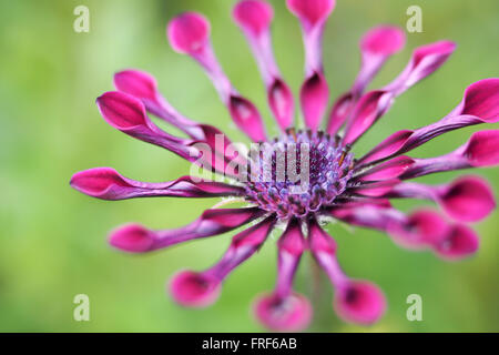 Spinne Daisy Flower lila - Stockfoto