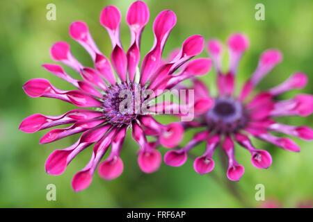 Spinne Daisy Blumen lila - Stockfoto