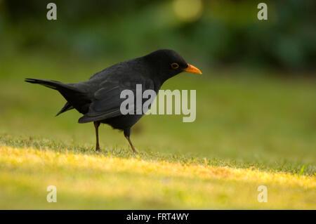 Amsel im Garten auf der Suche nach Nahrung. - Stockfoto