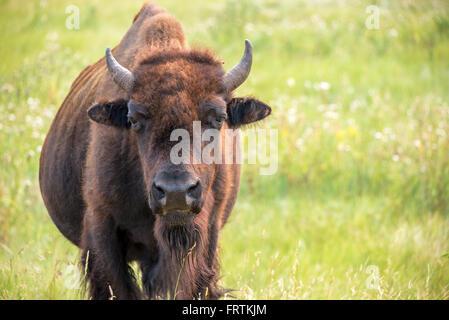 Nahaufnahme eines Büffels im Custer State Park in den Black Hills von South Dakota in die Kamera schaut - Stockfoto