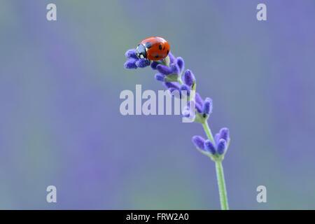 Sieben spot Marienkäfer Coccinella Septempunctata auf Lavendel - Stockfoto