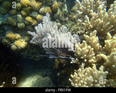 Korallenriff mit Gorgonie - Stockfoto