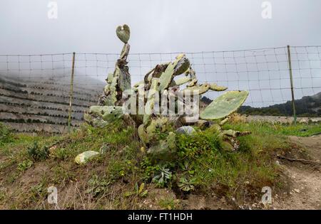 Feigenkaktus, (Opuntia Ficus-Indica) sterben der Schmierlaus (Dactylopius Coccus) auf Andalusien. - Stockfoto