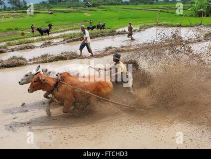 Batusangkar, West-Sumatra, Indonesien. 19. März 2016. BATUSANGKAR, Indonesien - 19 März: Ein Jockey spornt die Kühe - Stockfoto