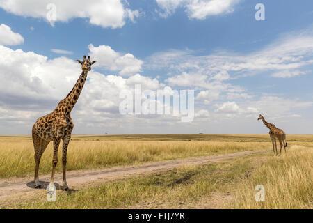 Giraffe (Giraffa Giraffe). Zwei Personen stehen auf einem Feldweg. Masai Mara, Kenia - Stockfoto