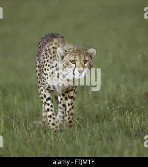 Cheetah Jagd - Stockfoto