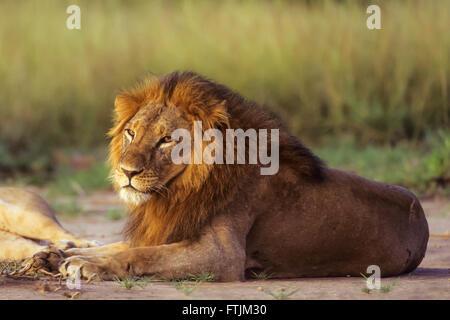 Afrikanische männlichen Löwen ruhen bei Sonnenaufgang - Stockfoto