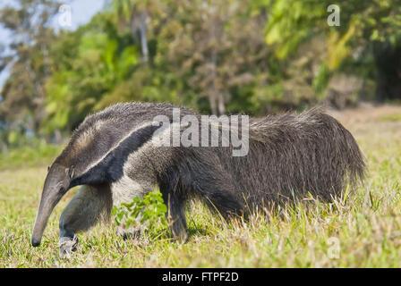 -Bedrohte Tiere vom Aussterben bedroht - Ameisenbär Myrmecophaga tridactyla - Stockfoto