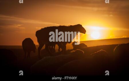 Kirgisistan, Kirgistan, Song Kul See, Asien, Zentralasien, Schafe in der Steppe bei Sonnenuntergang. - Stockfoto