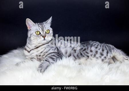 British Kurzhaar Schwarz Silber Tabby spotted Cat auf Schaffell liegend - Stockfoto