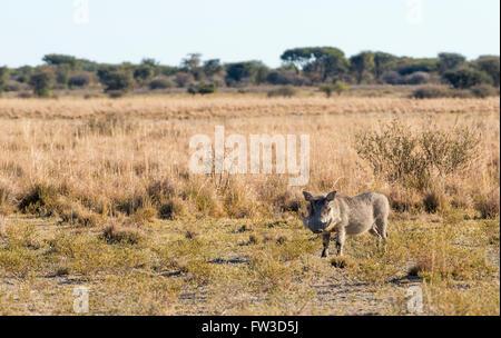 Warzenschwein auf den Ebenen in Botswana, Afrika - Stockfoto
