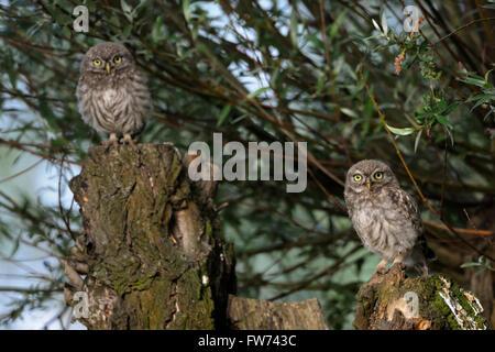 Kleine Eulen / Minervas Eulen (Athene Noctua), zwei aufgeregt Küken, sitzen nebeneinander auf einem alten Pollard - Stockfoto