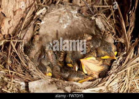 junge Amsel eingebettet (Turdus Merula) im nest - Stockfoto