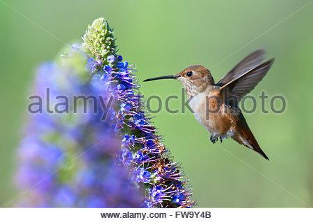 Allens Hummingbird fliegen stolz von Madeira Blume - Stockfoto