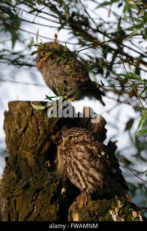 Zwei Generationen der Steinkauz / Minervas Eulen / Steinkauz (Athene Noctua) thront auf einem alten Weidenbaum. - Stockfoto