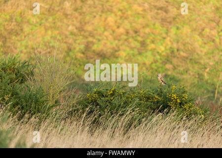 Sumpfohreule Asio Flammeus, thront in Hecke auf Ackerland, Berwick Bassett, Wiltshire, Großbritannien im Dezember. - Stockfoto
