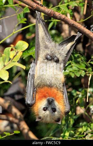 Graue Spitze Flying Fox, Pteropus Poliocephalus. Männchen zeigen Genitalien. - Stockfoto