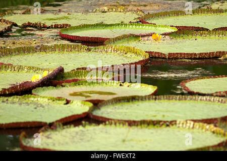 Blume der Victoria Amazonica oder Victoria Regia, die größte Wasserpflanze in der Welt am Amazonas bei Iquitos, - Stockfoto