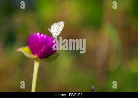 Hedge-blauen Schmetterling (Gattung Acytolepis) auf lila Globus Amaranth (Gomphrena Globosa) Blume - Stockfoto