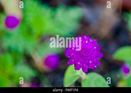 Violette Globus Amaranth (Gomphrena Globosa)-Blume-Draufsicht - Stockfoto