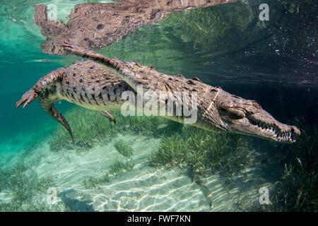Salzwasser-Krokodil, Crocodylus Porosus, Jardines De La Reina, Kuba, Karibik - Stockfoto