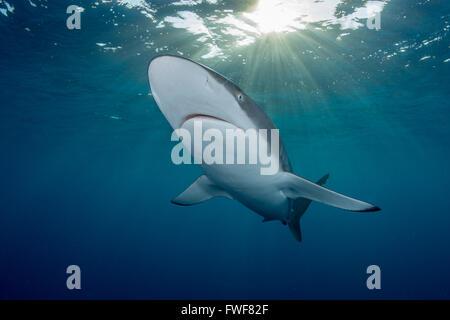 Seidige Haie, Carcharhinus Falciformis, Jardines De La Reina, Kuba, Karibik - Stockfoto
